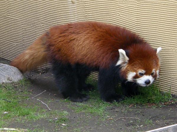 旭山動物園 レッサーパンダの写真画像5