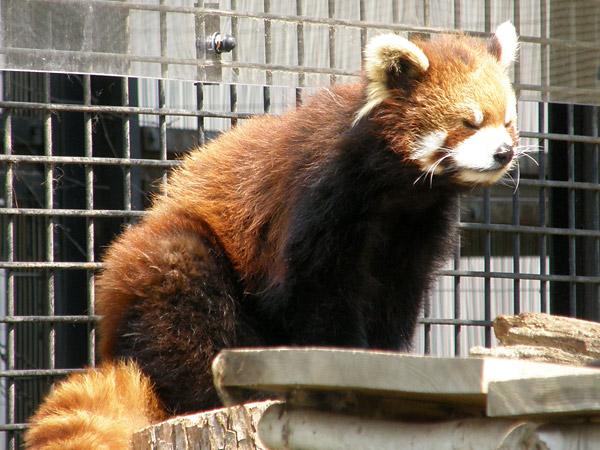 旭山動物園 レッサーパンダの写真画像6