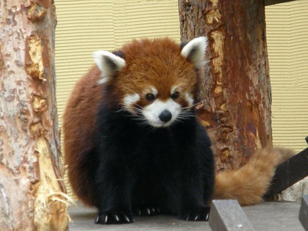 旭山動物園 レッサーパンダの写真画像7