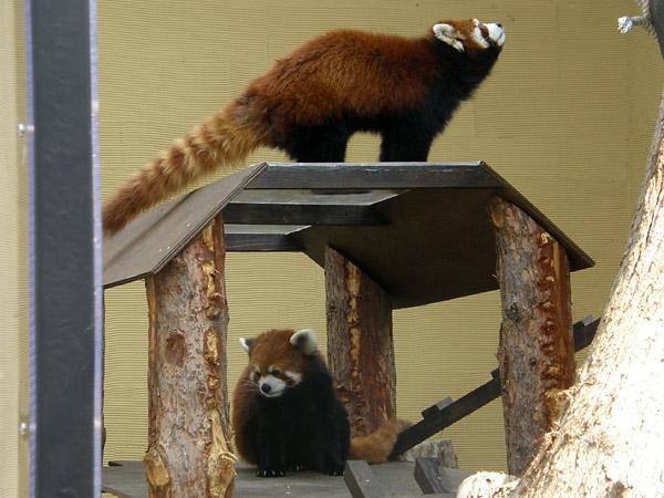 旭山動物園 レッサーパンダの写真画像8