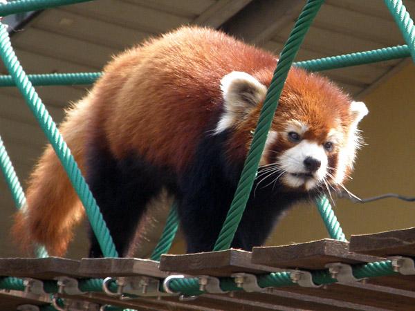 旭山動物園 レッサーパンダの写真画像9