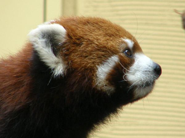 旭山動物園 レッサーパンダの写真画像10