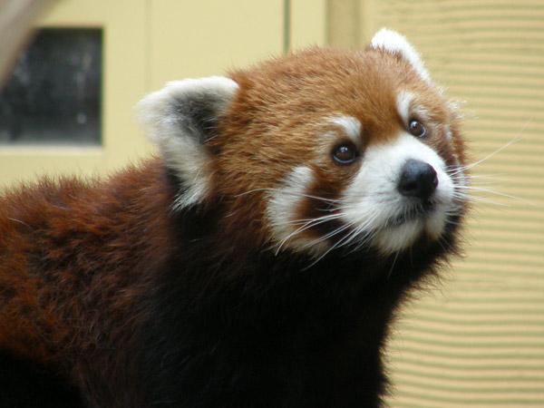 旭山動物園 レッサーパンダの写真画像11