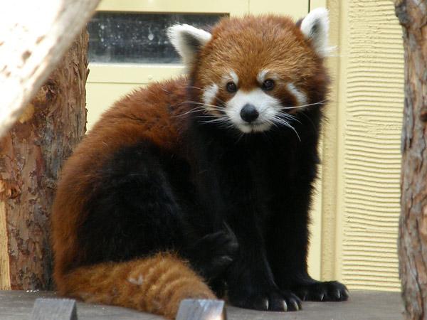 旭山動物園 レッサーパンダの写真画像12