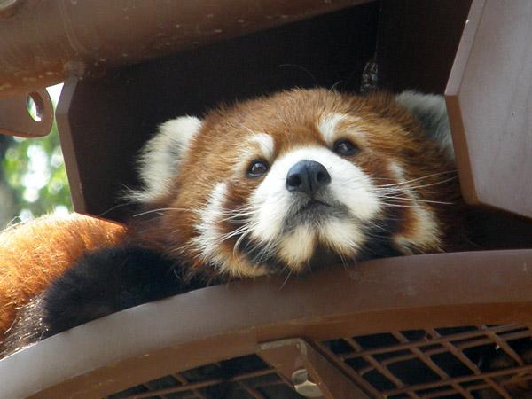 旭山動物園 レッサーパンダの写真画像14