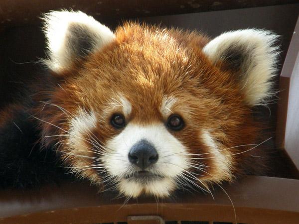 旭山動物園 レッサーパンダの写真画像15
