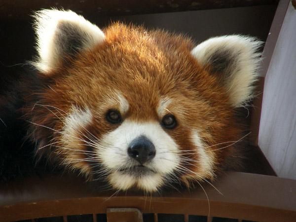 旭山動物園 レッサーパンダの写真画像16