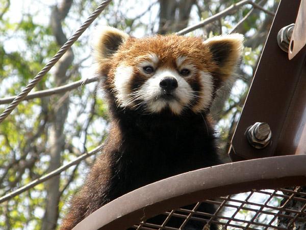 旭山動物園 レッサーパンダの写真画像17