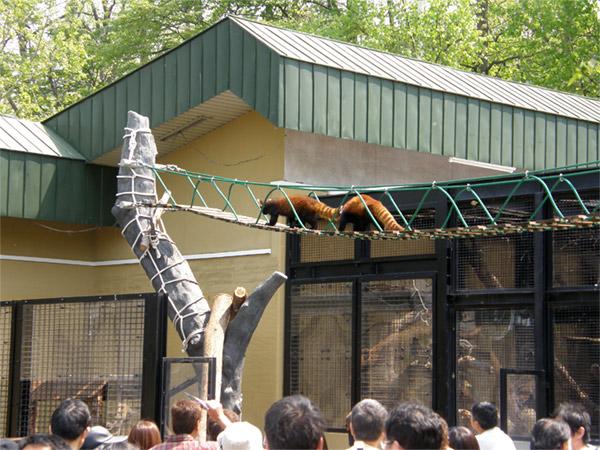 旭山動物園 レッサーパンダの写真画像18