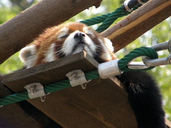 旭山動物園 レッサーパンダの写真画像19