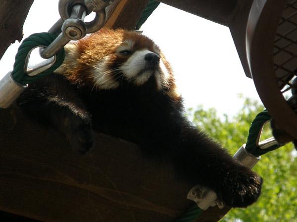 旭山動物園 レッサーパンダの写真画像20