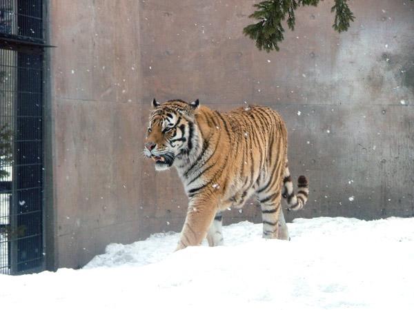 旭山動物園 アムールトラ(虎)の写真画像2
