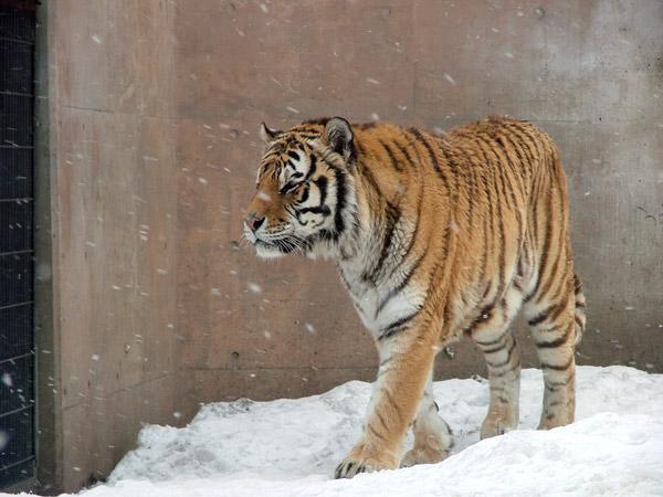旭山動物園 アムールトラ(虎)の写真画像3