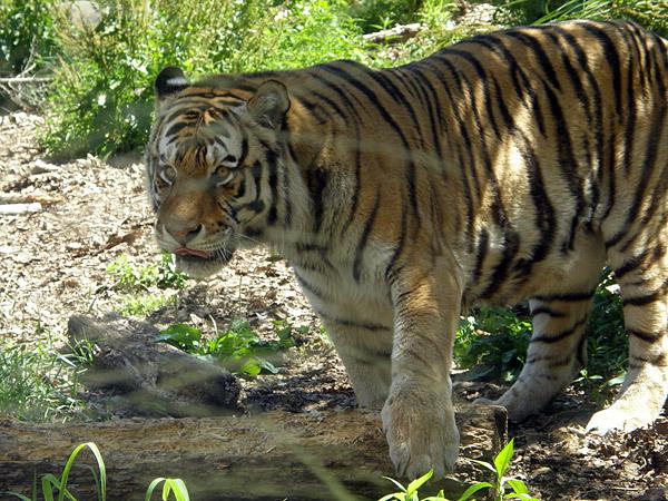 旭山動物園 アムールトラ(虎)の写真画像4