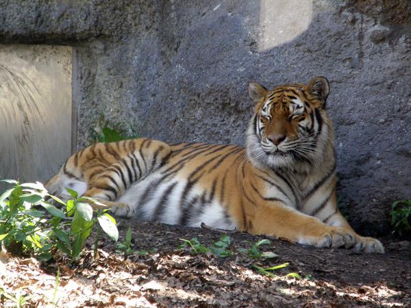 旭山動物園 アムールトラ(虎)の写真画像5