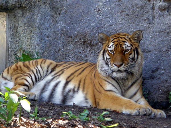旭山動物園 アムールトラ(虎)の写真画像6