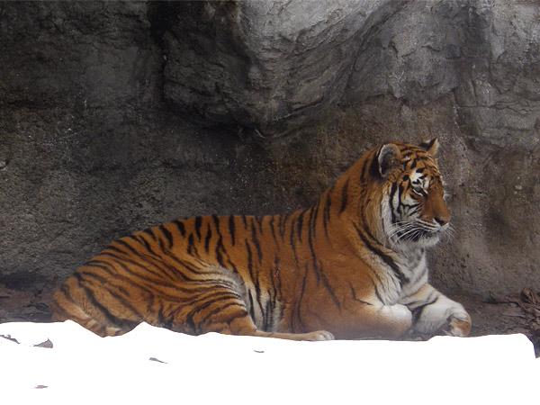 旭山動物園 アムールトラ(虎)の写真画像7