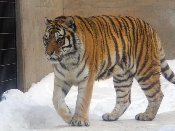 旭山動物園 アムールトラ(虎)の写真画像9