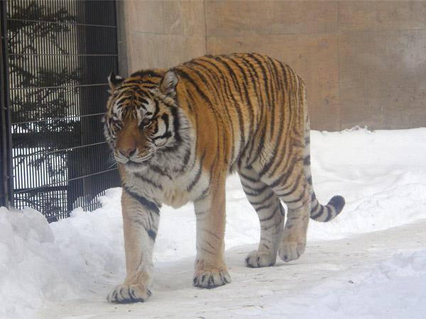 旭山動物園 アムールトラ(虎)の写真画像10