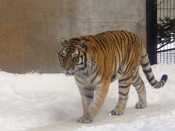 旭山動物園 アムールトラ(虎)の写真画像12