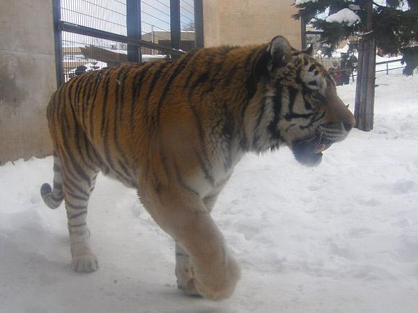 旭山動物園 アムールトラ(虎)の写真画像15