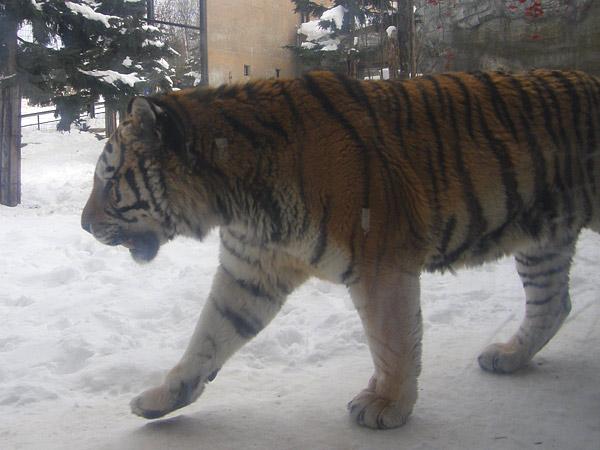 旭山動物園 アムールトラ(虎)の写真画像16