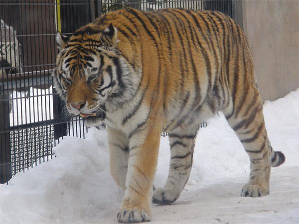 旭山動物園 アムールトラ(虎)の写真画像17