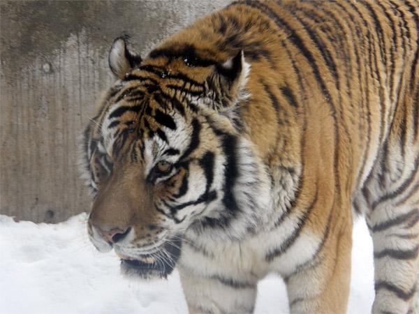 旭山動物園 アムールトラ(虎)の写真画像18