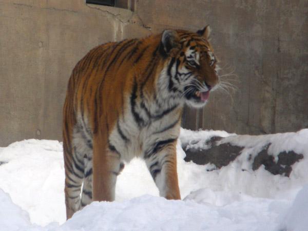 旭山動物園 アムールトラ(虎)の写真画像22