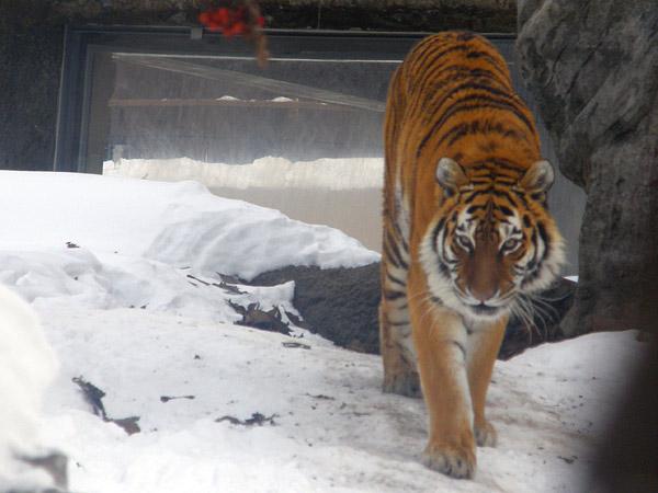 旭山動物園 アムールトラ(虎)の写真画像23