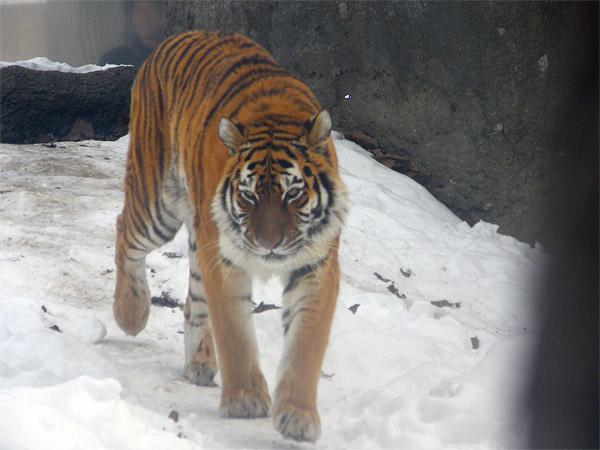 旭山動物園 アムールトラ(虎)の写真画像24