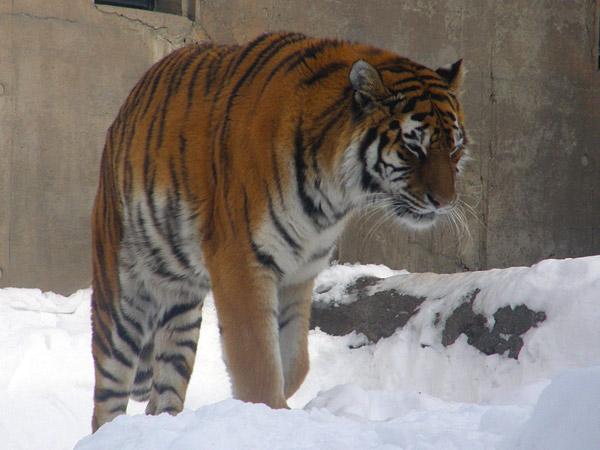 旭山動物園 アムールトラ(虎)の写真画像26
