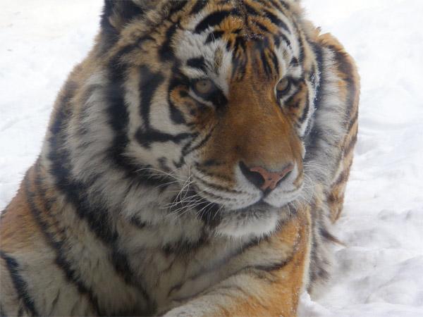 旭山動物園 アムールトラ(虎)の写真画像27