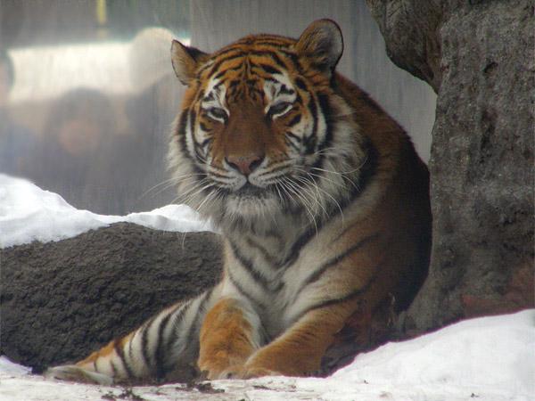 旭山動物園 アムールトラ(虎)の写真画像28