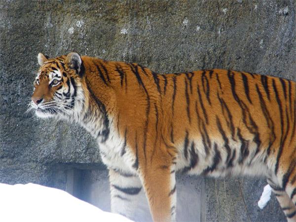 旭山動物園 アムールトラ(虎)の写真画像29