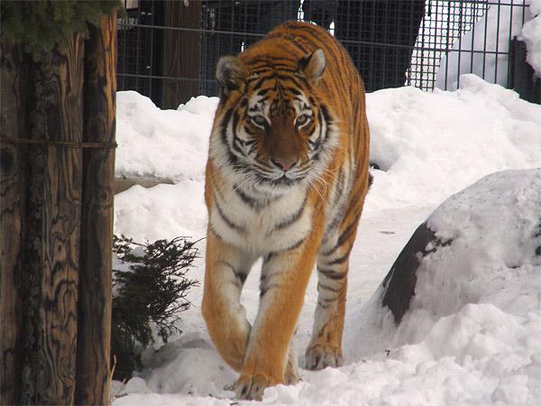 旭山動物園 アムールトラ(虎)の写真画像30