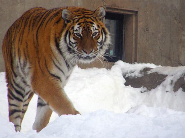 旭山動物園 アムールトラ(虎)の写真画像31