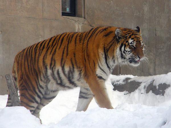 旭山動物園 アムールトラ(虎)の写真画像32