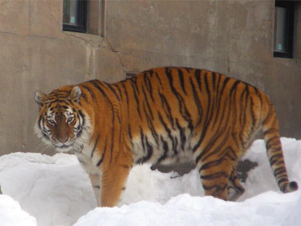 旭山動物園 アムールトラ(虎)の写真画像35