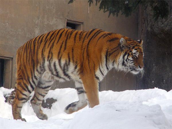 旭山動物園 アムールトラ(虎)の写真画像36