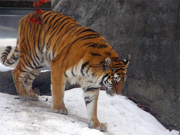旭山動物園 アムールトラ(虎)の写真画像37