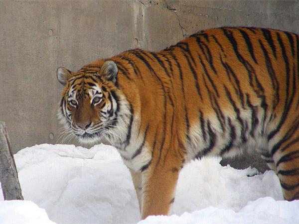 旭山動物園 アムールトラ(虎)の写真画像38