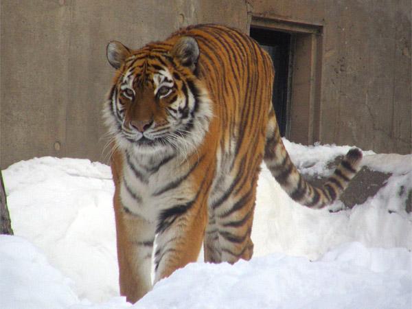旭山動物園 アムールトラ(虎)の写真画像39