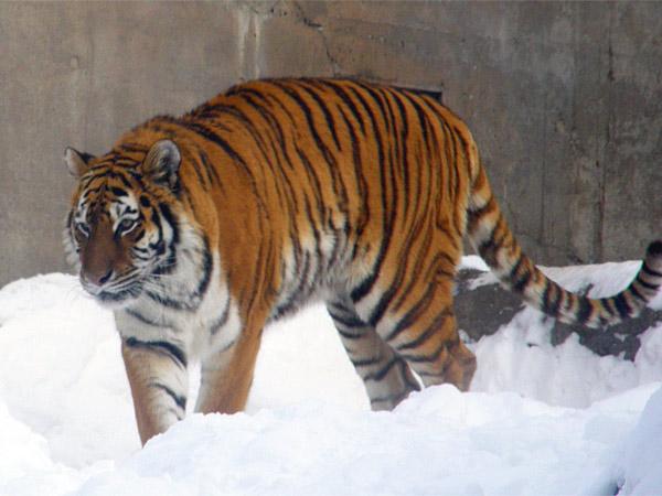 旭山動物園 アムールトラ(虎)の写真画像40