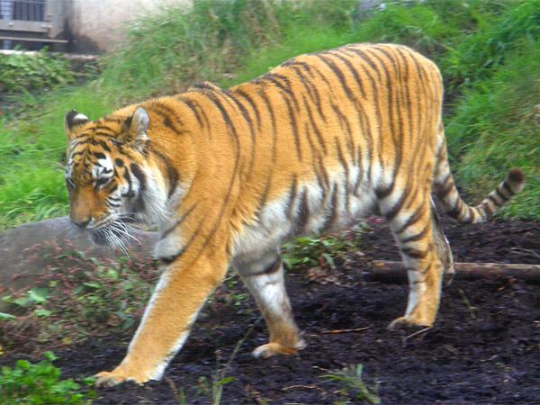虎の画像 p1_25