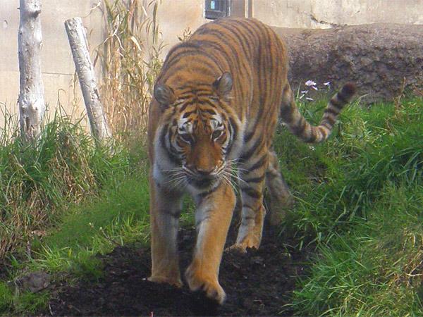 旭山動物園 アムールトラ(虎)の写真画像42