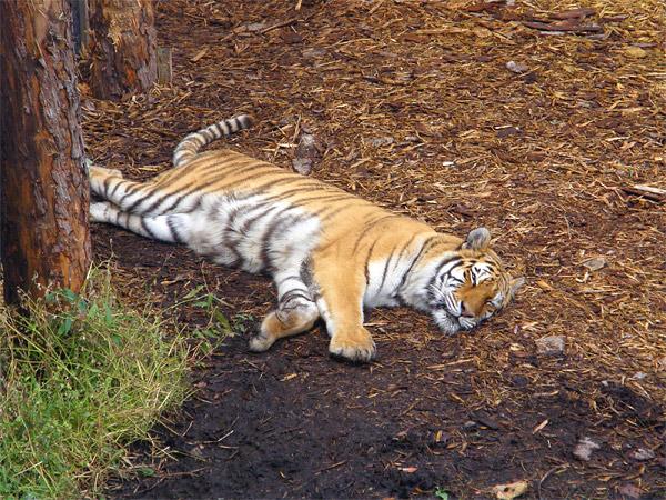 旭山動物園 アムールトラ(虎)の写真画像48