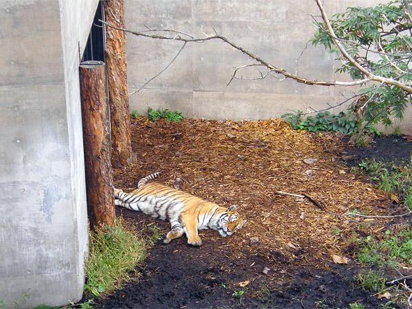 旭山動物園 アムールトラ(虎)の写真画像53
