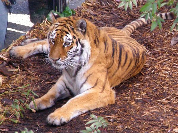 旭山動物園 アムールトラ(虎)の写真画像56