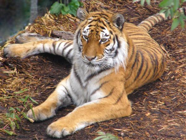 虎の画像 p1_14